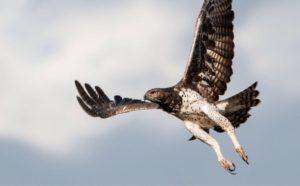 Martial-Eagle-2-300x186