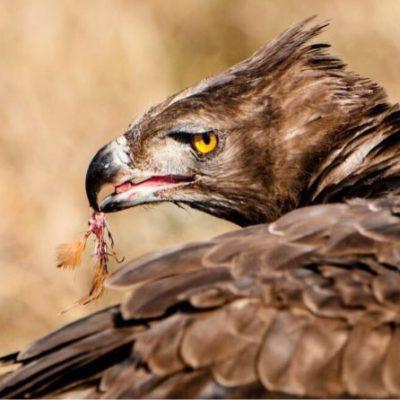 Martial-Eagle-3-768x446